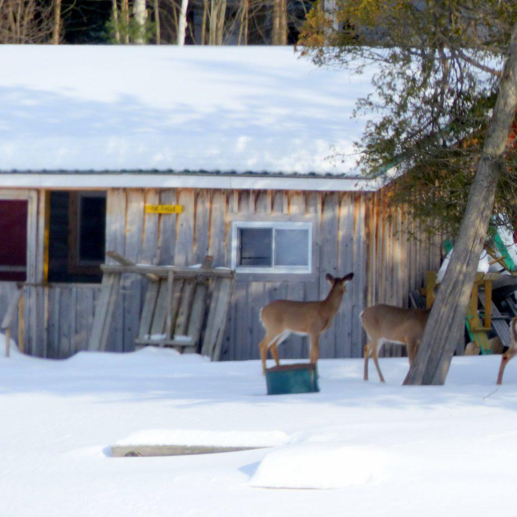 deer at Bearskin Lodge